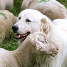 Rev Z – How seriously are you taking your role as a sheepdog?